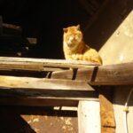 Rote-Wildkatze